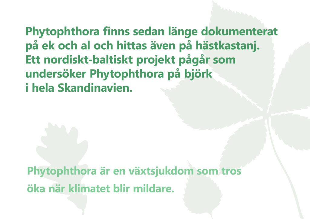 """Bilden visar texten """"Phytophthora är en växtsjukdom som tros öka när klimatet blir mildare. Phytophthora finns sedan länge dokumenterat på ek och al och hittas även på hästkastanj. Ett nordiskt-baltiskt projekt pågår som undersöker Phytophthora på björk i hela Skandinavien."""""""