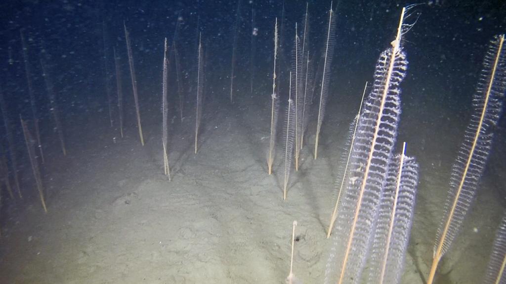 Korallen mindre piprensare på havsbotten